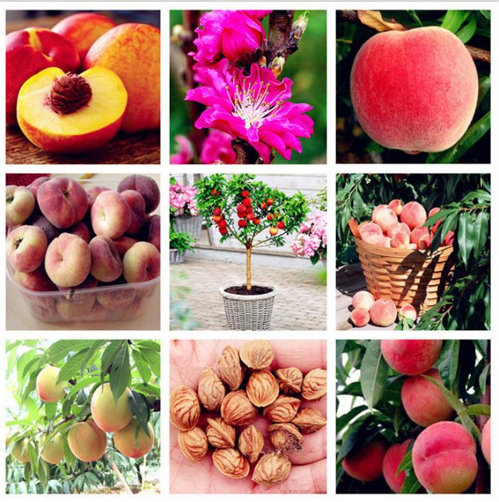 Peach Seed